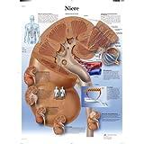 3B Scientific VR0515UU - Póster explicativo sobre el riñón (en alemán)