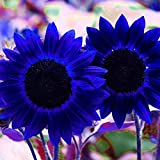 Anitra Perkins - 50 Stück Riesen Sonnenblume Samen Herbstzauber Sichtschutz Bunte Blumensamen Zierpflanzen für Zaun Mauern (Blau)