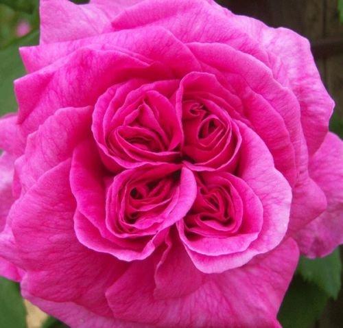 rosa-shrub-rose-madame-isaac-perrier-plant