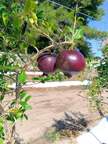 Pianta di Melograno viola o nero (varietà rara) 24 mesi