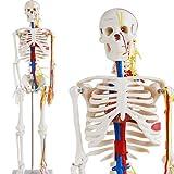 Skelett Modell mit Nerven, Blutgefäßen und Gehirn - Anatomie Modell