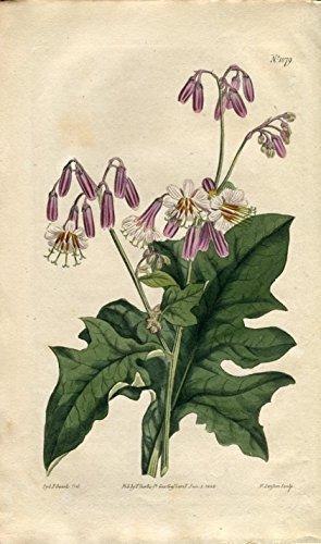 Prenanthes Alba - White-Flowered Prenanthes. Altkolorierter Kupferstich (Aus: Curtis' Botanical Magazine, No. 1079).