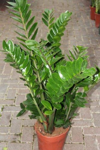 zimmerpflanze-fur-wohnraum-oder-buro-zamioculcas-zamiifolia-70-cm-hoch-auch-als-glucksfeder-bezeichn