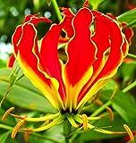 Gloriosa, Fire Lily, Flame Lily Rothschildiana/Gloriosa, Feuerlilie, Flammenlilie Rothschildiana - Blumenzwiebeln/Knolle / Wurzel