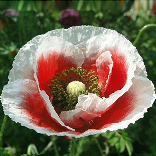 Hot Sale balcon Rillettes Rouge Blanc fleur de pavot Graine Belle Bonsai Usine jardin 200 particules / lot