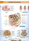 Le corps humain, planches murales d'anatomie. Appareil génital féminin