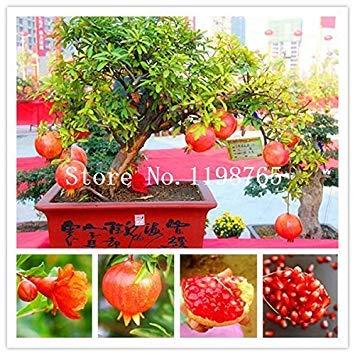 Fash Lady 50 stücke bonsai baum granatapfel samen home anlage Köstliche obst samen sehr groß und süß für hausgarten anlage sprießen 95%