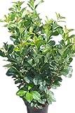 Gartenpflanze - Lorbeerkirsche - Sorte: Etna, LORBEERPFLANZEN, 1,2 m hoch