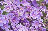 Pyrenäen-Storchschnabel 15 Samen (Geranium pyrenaicum)