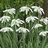 Portal Cool 10: Flore Pleno Galanthus Perce-neige Fleurs vivaces dÃbut du printemps bulbes à fleurs