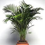 Areca palm (Chrysalidocarpus lutescens) is one of the most widely used palms for bright interiors. It features feathery, arching fronds, each with up to 100 leaflets. * What if I receive my plant damaged/dead? The journey of your plant from our nurse...