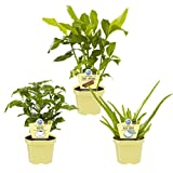 Set Bio - Pflanzen Aloe vera + Kaffee + Zimt - Aroma, je 1 Pflanze, 3 Pflanzen, 12 cm Topf, 15-30 cm hoch, Zimmerpflanzen, Kübelpflanzen