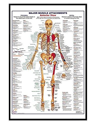 Glänzendes schwarz eingerahmtes Muscle Attachments Anterior Poster 61x91,5cm