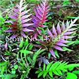 Bloom Green Co. 100 Pz Giardino Fern bonsai piante rare Creeper Vines Erba, miste Arcobaleno Fogliame piante per BonsaïPianta 2018 Nuovo Sementes vendita: 19