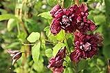Clematis, Waldrebe 'Purpurea Plena Elegans' - Kräftige Pflanze im 2 lt.-Topf, 60 cm