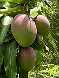 Green Leaf ® Mangobäume (Mangifera indica) 2 Seeds