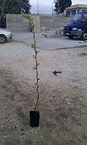 Kiwi pianta kiwi altezza 120 150 cm pianta di kiwi for Pianta kiwi prezzo
