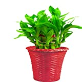 #4: Trust basket Lucky Bamboo With Red Planter