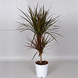 Drachenbaum (Dracaena), 2 Stämme im Topf, ca. 70cm hoch, pflegeleichte Zimmerpalme (Sorte: Magenta, bronzefarbens Laub)