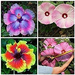 Vista 100 stücke Seltene Mischungsfarben Riesige Hibiskus-samen Topfpflanze Mehrjährige Blumen rose malve beleuchten ihren garten