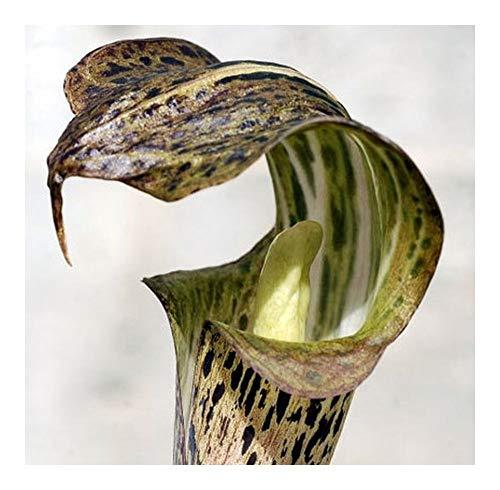 Arisaema nepenthoides - Feuerkolben - Kobralilie - 10 Samen