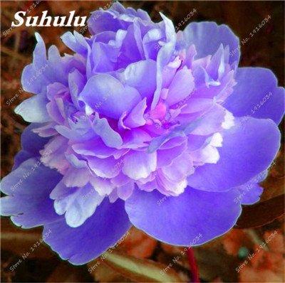 10 Pcs Pivoine graines, semences d'extérieur en pot, Bonsaï semences de fleurs, Variété complète, facile à cultiver, d'ornement-plantes pour jardin 22