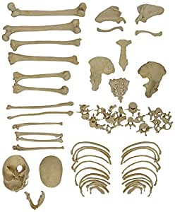 Biolab India PVC Disarticulated Human Skeleton Model (Light Cream )