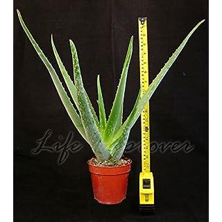 Easy Plants 1 ALOE VERA IN POT MEDICINAL HOUSE PLANT,45-50cm Tall