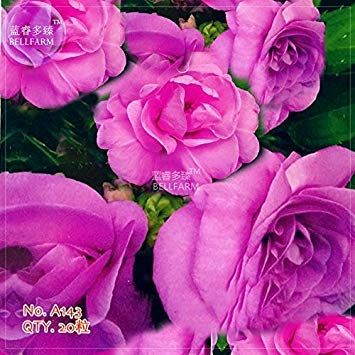 Pinkdose2018 heißer Verkauf Davitu Purple Balsam mehrjährige Blumensamen, 20 Samen, Original Pack, Hof Pflanzen Kamelie Impatiens Hausgarten