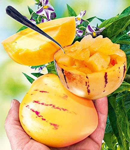 Cioler Seed House - 100 Pièces Rare Melon Poire Graines Mini Pépino Fruits Graines De Fruits Et Légumes Maison Bonsaïs Plante Jardin Balcon