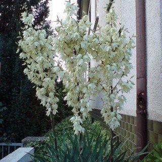 Palmlilie - Yucca filamentosa - Staude