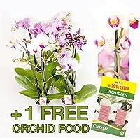 10 uds. Phalaenopsis, 2 Transmisión, Orquídea, flores, 9cm Olla, orquídea, Orquídea