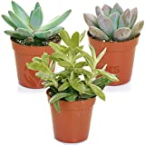 Succulent Mix - 3 Plants - House / Office Live Indoor Pot Plant - Ideal Gift