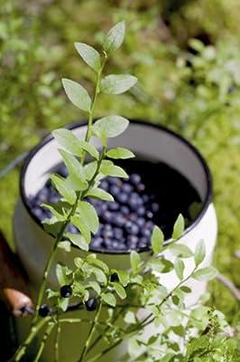 Waldheidelbeeren Sylvana - junge Pflanze im 1,3lt-Topf von Lubera AG auf Du und dein Garten