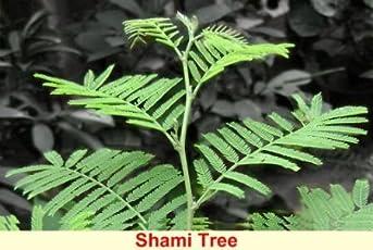 Shammi Live plant Devotional with pot