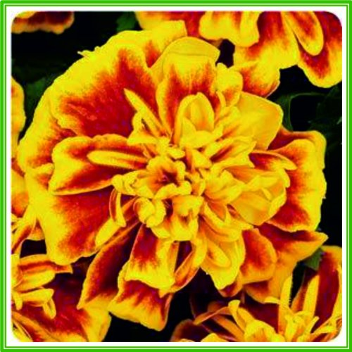 ajp-marigold-french-bonanza-series-bee-seed