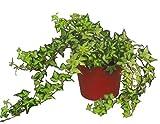 Hedera helix ' Golden Ingot'- Efeu - echte Pflanze im 13 cm Topf als Hängepflanze, Bodendecker, Zimmerpflanze, Kletterpflanze