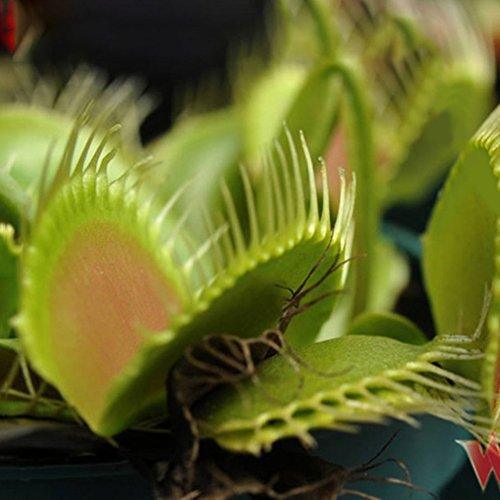 Anti-insetto semi piante giardino bonsai famiglia in vaso mangiare volare insetto repellente erba