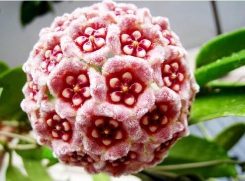 semi-hoya-seme-in-vaso-hoya-carnosa-semi-di-fiori-piante-da-giardino-piantando-perenne-50-semi-piant