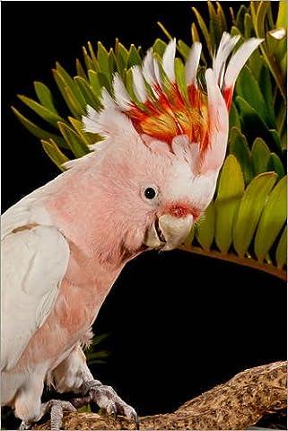 Forex-Platte 80 x 120 cm: Major Mitchell's Cockatoo, Lophochroa leadbeateri, Native to Australia von David Northcott / Danita Delimont