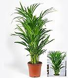 BALDUR-Garten Areca Palme im 17 cm Topf, 1 Pflanze Zimmerpalme Goldfruchtpalme Grünpflanze