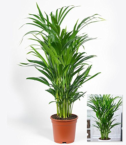 BALDUR-Garten Areca Palme im 17 cm Topf,1 Pflanze