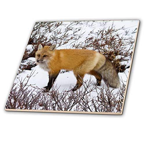 3drose rot Fox im Winter, Churchill Wildlife Bereich, Churchill, MB, Kanada.-Keramik Fliesen, 4-Zoll (CT _ 209878_ 1)