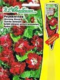 Prunkwinde 'Sunrise Serenade' rot, gefüllt blühend, einfach anzuziehend,Kletterpflanze 'Pharbitis purpurea'