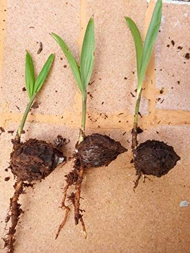 PLAT FIRM KEIM SEEDS: 3 sprießen FUCHSSCHWANZ PALM Wodyetia bifurcata READY PLANT VIABLE C557
