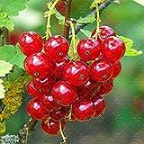 Fash Lady 120 STÜCKE Rote Johannisbeere Obstpflanze Pan-American Stachelbeere Samen Laterne Obst Samen Physalis Samen Landschaft Pflanze Für Hausgarten 3
