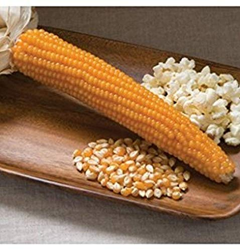 Go Garden 10 - Graines: Graines bio jaune Dynamite Popcorn - Cédant !! haut Mmmmm Wow !! Bon !!!