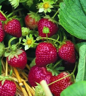Erdbeere Ostara, 20 Stück, Torftopf von Amazon.de Pflanzenservice bei Du und dein Garten