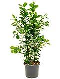 Birkenfeige Moclame 110-140 cm im 29 cm Topf große Zimmerpflanze für Hell-Halbschatten Ficus microcarpa 1 Pflanze