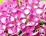 Rispehortensie Vanilla Fraise - Hydrangea paniculata - Reich blühend von Juli bis November